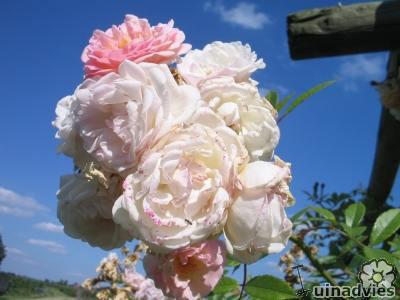 geurende roos zonder doornen