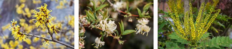 Hamamelis mollis 'Pallida' - Lonicera fragrantissima - Mahonia