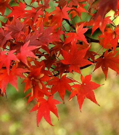 Japanse esdoorn met prachtige herfstverkleuring van de bladeren - Acer palmatum