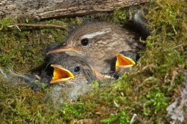 Nest van de winterkoning gemaakt uit mos.