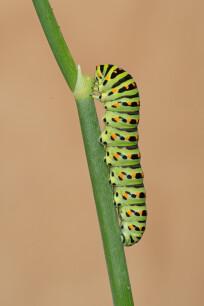 volwassen vlinder