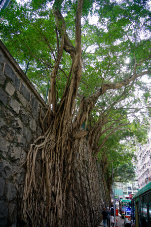 Oude Ficus in hartje Hong Kong