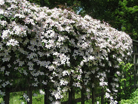 clematis montana rubens