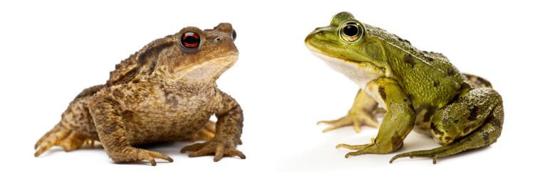 De Gewone pad en de Groene kikker