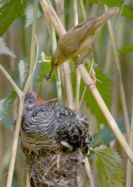koekoeksjong op nest