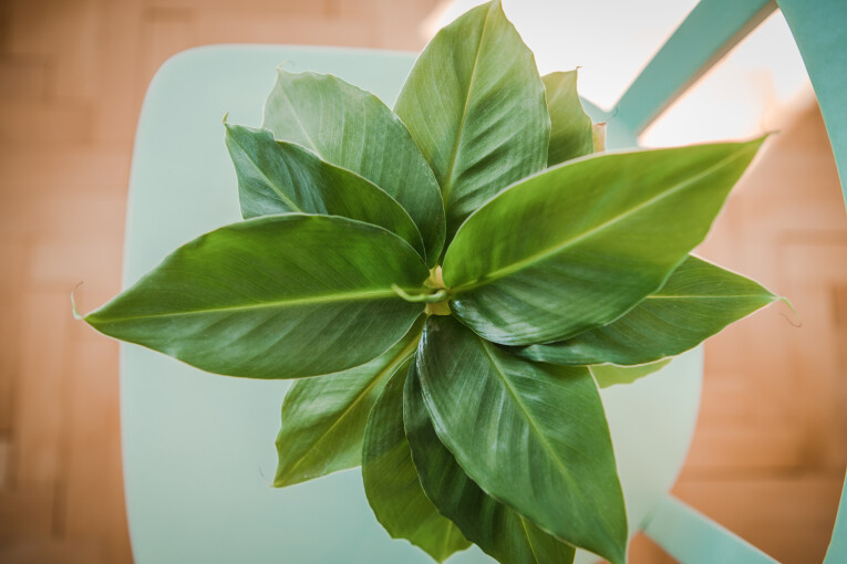 Bananenplant of musa