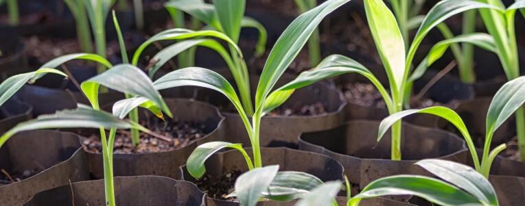 Bananen kweken: Van zaad tot plant