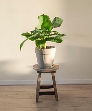 Bananenplant of -boom als kamerplant