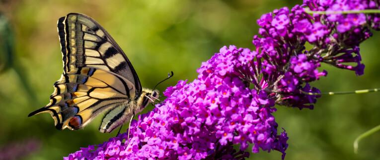 Koninginnenpage op vlinderstruik
