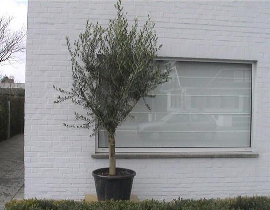 goedkoop olijfbomen kopen zonder verzendkosten