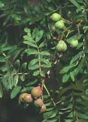 onrijpe vruchten