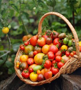 Tomaten van eigen kweek