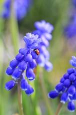 Lieveheersbeestje op blauwe druifjes