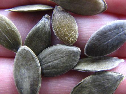 zaden van pompoenen