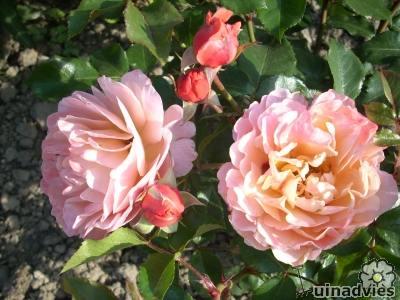 mooie roos voor in de rozenborder