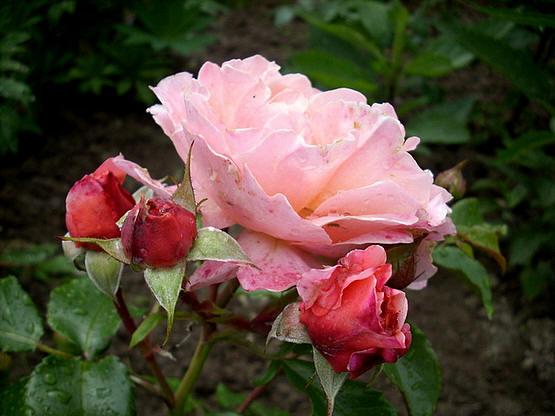 mooie lekker geurende roos