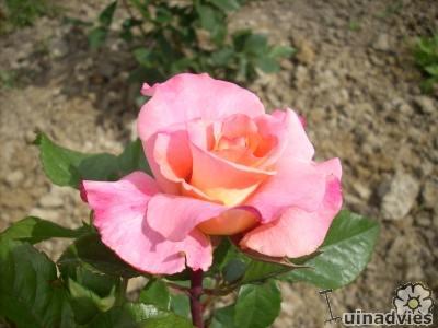 geschikte roos voor snijbloem