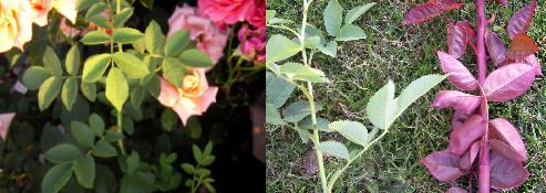 verschil tussen een wilde rozenscheut en een echte scheut van de roos zelf