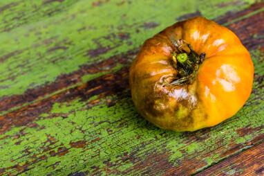 Tomaten- of aardappelplaag: Phytophtora infestans