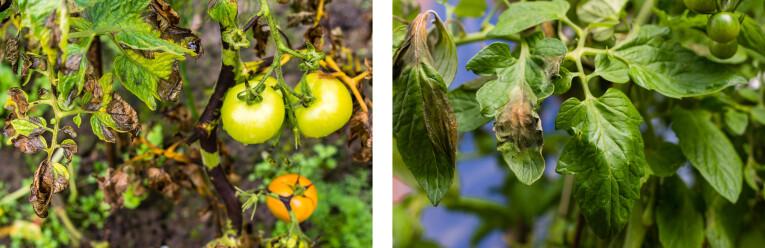 Schimmelziekte bij tomatenplanten
