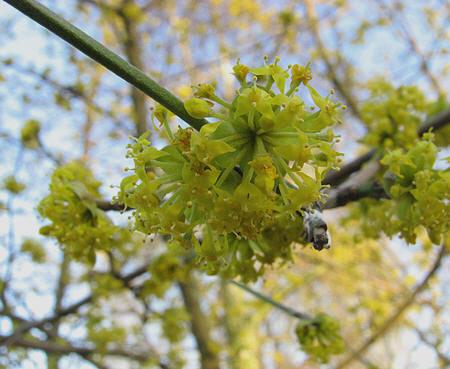 bloemen van de cornus mas of gele kornoelje
