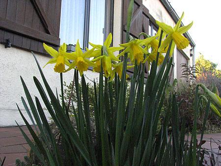 Narcissen, paaslelie of paasbloemen bloeien al veel vroeger dan Pasen