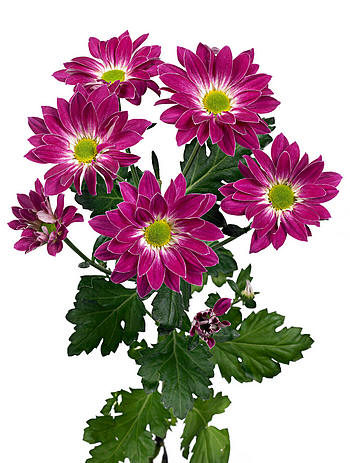 Chrysanthemum Toshka