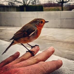 roodborstje in de winter - tuinvogel roodborstje