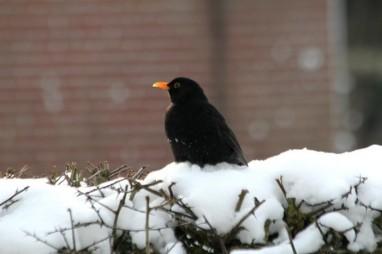 merel in de tuin - tuinvogels winter