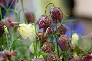 Fritillaria meleagris kleurenmix -