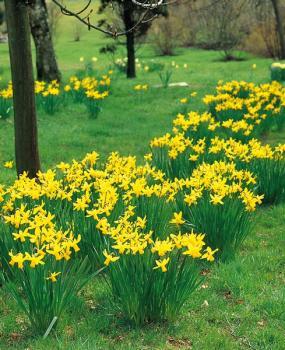 Narcissen February Gold -