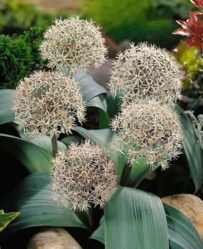Allium karataviense -