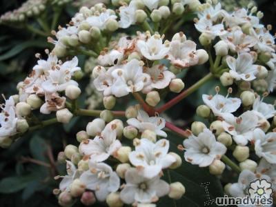 Viburnum tinus verplanten kan in het vroege voorjaar.