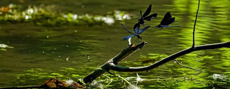 waterlibellen