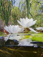 witte waterlelies