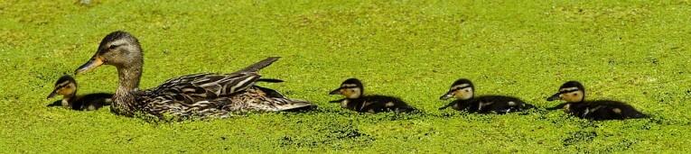 mama eend met haar jongen