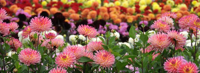 Bloemenborder met een mix aan Dahlia's