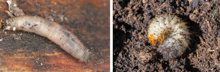 Larve langpootmug - larve kever