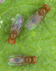 Fruitvliegen op blad