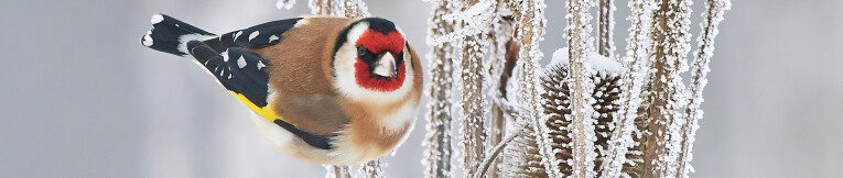 Putter of distelvink (Carduelis carduelis)