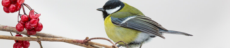 Parus major of koolmees