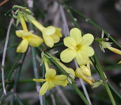 winterjasmijn jasminum nudiflorum