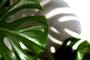 monstera kamerplant - gatenplant