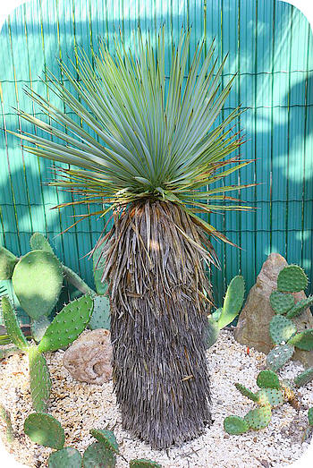 Hier nog een foto van mijn nieuwe Yucca thompsoniana.