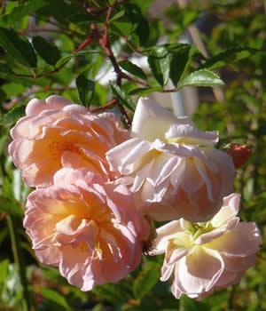 biologische rozen houden