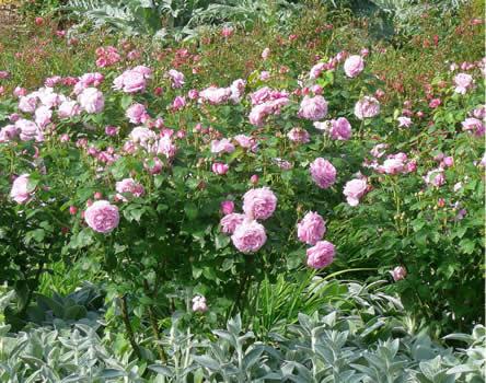 rozen biologische producten