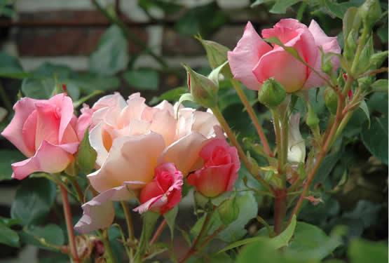 Biologische producten voor rozen