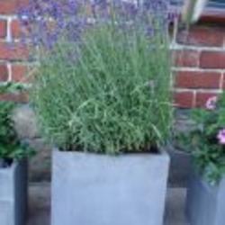 Lavendel In Grote Pot.Lavendel