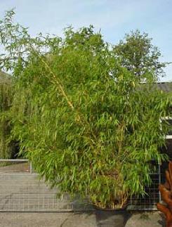 Grote Potplanten Voor Buiten.Bamboe Planten Als Kuipplant Voor Op Het Terras Of Balkon