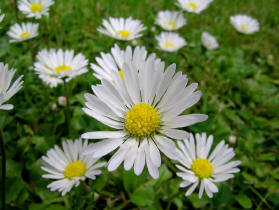 The humble daisy
